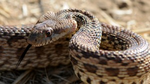 pacific gopher snake  Gopher Snake 2