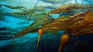 A-bull-kelp