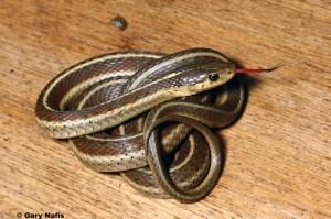 Garter Snake 1
